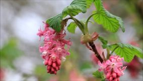 Flowering Currant in spring, Ribes sanguineum stock footage