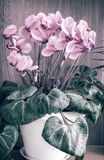 Flowering cyclamen with flowers and green leaves. royalty free stock images