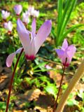 One close up of pink Cyclamen flowers Stock Images