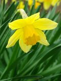 Flowering daffodil Royalty Free Stock Photo
