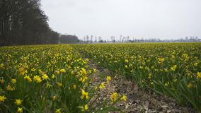 Daffodil fields in Nitherlands. Flowering daffodil fields near Amsterdam. Moving along rows of daffodil in grey spring day stock video