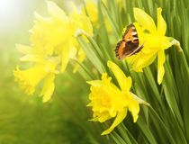 Flowering daffodils. Butterfly urticaria sits on a flower. Spring background. Flowering daffodils. Butterfly urticaria sits on a flower royalty free stock images