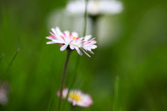 Flowering daisies in a garden Royalty Free Stock Photo