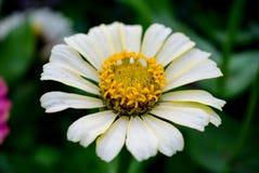 Flowering of daisies. Gardening concept stock image