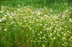 Flowering daisies on the summer field. In Siberia stock image