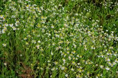 Flowering daisies on the summer field. In Siberia royalty free stock photo