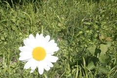 Flowering daisy field. Single flowering daisy on a green field Stock Images