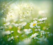 Flowering daisy flower in meadow - flowering meadow Stock Images