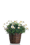 Flowering daisy plant in pot. On a white background royalty free stock images