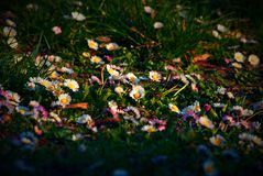 Flowering. Flowering daisy, spring time, sunset light royalty free stock photo