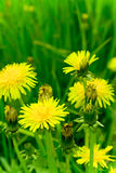 Flowering dandelion Stock Photography