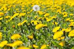 Flowering dandelion Royalty Free Stock Photo