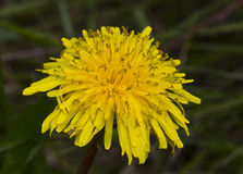 Flowering dandelion Stock Photography