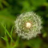 Flowering dandelion. Flowering flower of a dandelion on a green meadow with seeds Stock Image