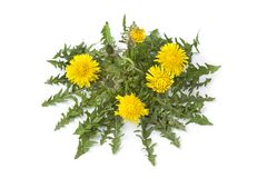 Flowering Dandelion plant Royalty Free Stock Photos