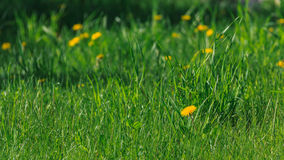 Flowering dandelions. Dandelions blooming in early June on a green lawn in the park Stock Photos
