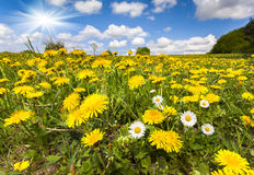 Flowering dandelions and camomiles in the summer Stock Photos