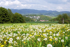 Flowering dandelions in German mountain landscape Stock Photography