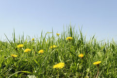 Flowering dandelions in grass Royalty Free Stock Photography