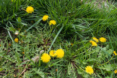 Flowering dandelions in green tall grass Royalty Free Stock Images
