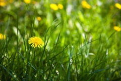 Flowering dandelions on meadow Royalty Free Stock Image