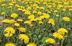 Flowering dandelions in the meadow. Bright yellow summer flowers. stock photos