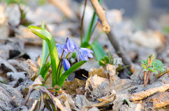 Flowering of the dark blue primroses. In early spring Stock Image