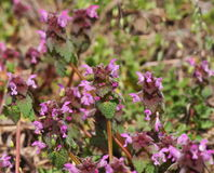 Flowering dead nettle on meadow Stock Photo