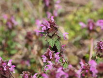 Flowering dead nettle on meadow Royalty Free Stock Photo