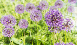 Flowering of decorative onions  (Allium) in a bright sunny day Royalty Free Stock Images