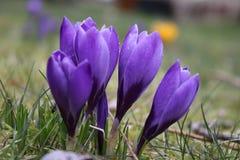 Flowering deep purple crocusses in spring. Picture of group of flowering deep purple crocusses in spring in the garden Royalty Free Stock Photo