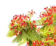 Flowering Delonix regia Stock Image