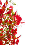 Flowering Delonix regia Stock Photos
