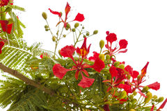 Flowering Delonix regia Stock Photo