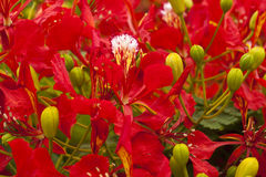 Flowering Delonix regia Royalty Free Stock Image