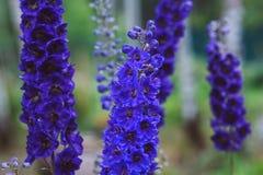 Flowering delphinium closeup in summer garden. Growing beautiful blue flowering perennials Royalty Free Stock Image