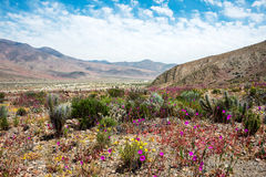 Flowering desert in the Chilean Atacama Desert Stock Images