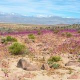 Flowering desert in the Chilean Atacama royalty free stock image
