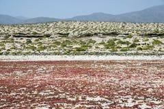 Flowering desert in the Chilean Atacama Royalty Free Stock Photo