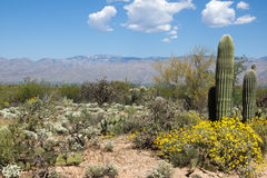 Flowering Desert spring in Saguaro National Park, Arizona Stock Image