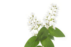 Flowering Deutzia Magnifica shrub Stock Image