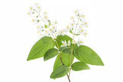 Flowering Deutzia Magnifica shrub Stock Images