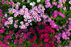 Flowering dianthus Stock Photos