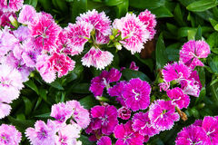 Flowering dianthus Royalty Free Stock Photo