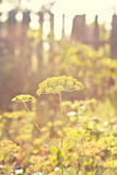Flowering dill Stock Images