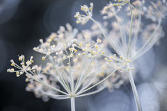 Flowering dill clusters Stock Images