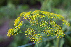 Flowering dill (Fennel) herbs Stock Image