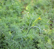 Flowering dill. Dill grows in the garden in the garden Royalty Free Stock Image