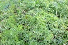 Flowering dill. Dill grows in the garden in the garden Stock Photo