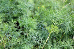 Flowering dill. Dill grows in the garden in the garden Royalty Free Stock Photography